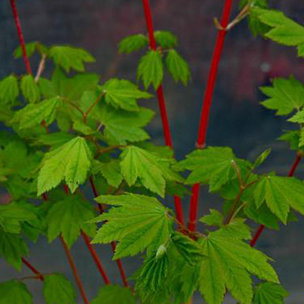 Acer Circinatum Pacific Fire Essence Of The Tree