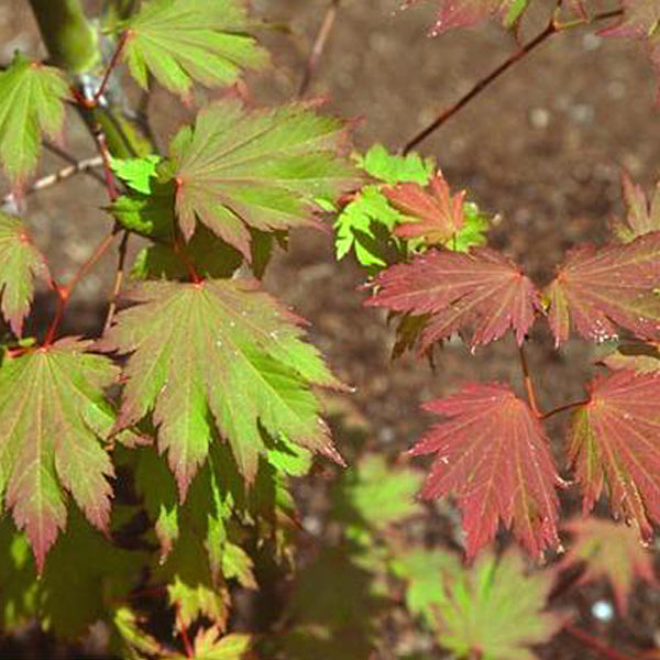Japanese Maples Essence Of The Tree