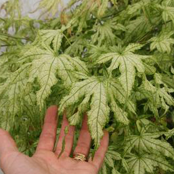 Acer Palmatum Sister Ghost Essence Of The Tree