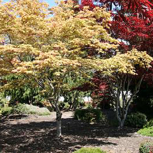 Acer Palmatum Amber Ghost Essence Of The Tree