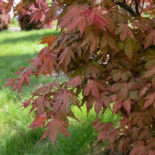 Acer Palmatum Baby Ghost Essence Of The Tree