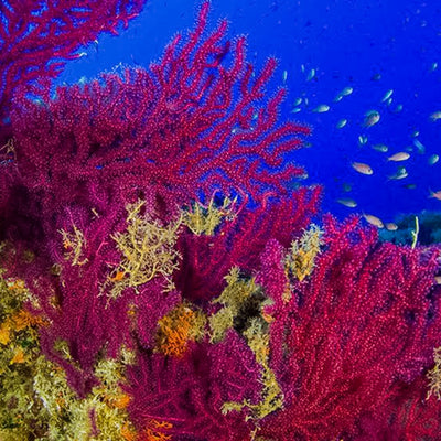 Oceana's Global Effort to Save Coral Reefs