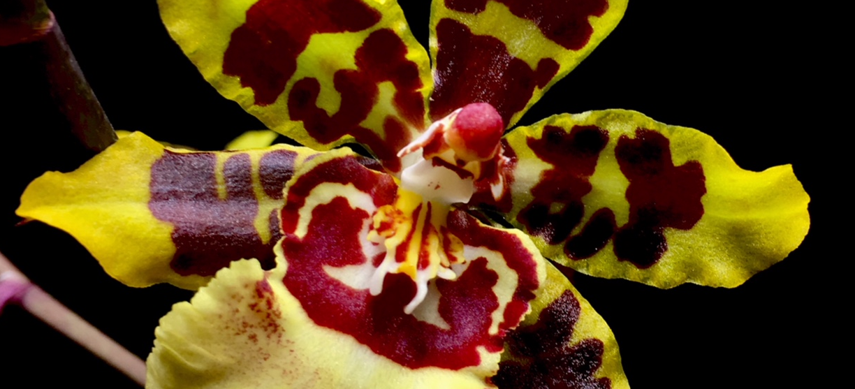 Flower of Ons. Wildcat, an Oncidium intergeneric orchid with bolg burgundy patterns on a yellow background.