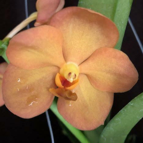 Flower photo of Vanda Yanisa Gold 'Maui,' and orchid with rounded, peach-orange blooms.