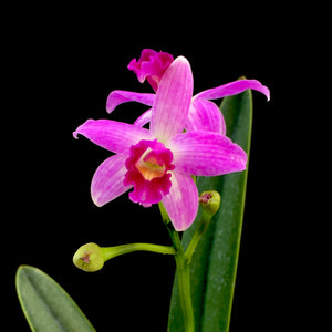 Flower photo of Cattleya Little Elf, an orchid with bright pink flowers with a darker pink lip and yellow throat.