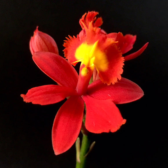 Flower of Epidendrum Max Valley, a Cattleya alliance plant with bright red blooms.