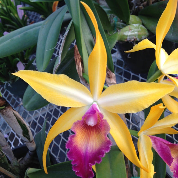 Flower photo of Rby. Wow 'Exotic Accent,' a Cattleya alliance orchid with bright orange-yellow blooms and a magenta lip.