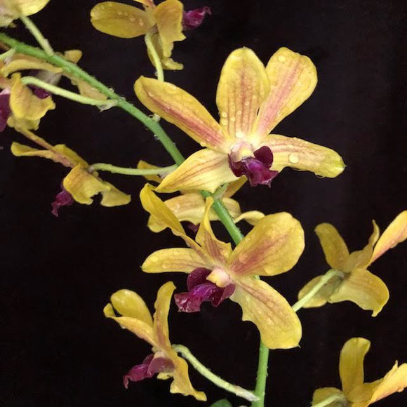 Dendrobium Exotic Glow 'Golden Glory'