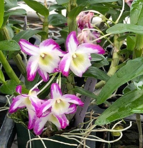 Flower of Dendrobium Hamana Lake 'Prism', a miniature orchid with pink and white blooms. Photo credit: Maui Orchids