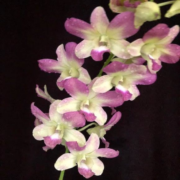 Dendrobium Valley Isle Pink 'Sunshine' FCC/AOS
