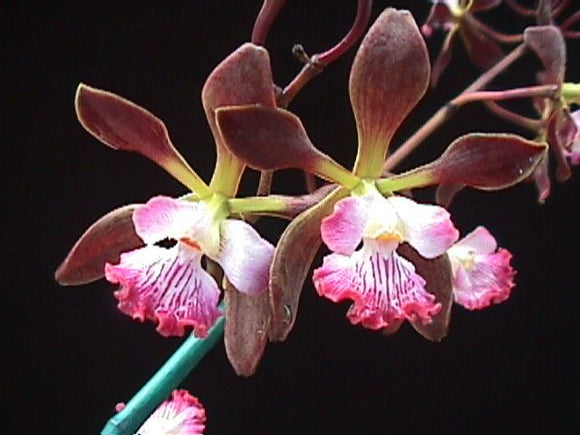 Flower of Encyclia Orchid Jungle, a hybrid in the Cattleya Alliance that has chocolate colored flowers with white and pink lips.