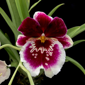 Flower photo of Miltoniopsis Rouge 'Claf Plum,' and Oncidium orhid with maroon blooms with white fringes.