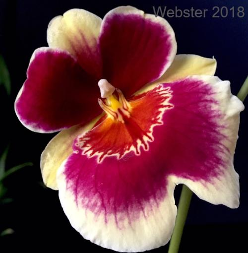 Close up of a Miltoniopsis Banana Fandago 'Faded Memories' bloom, an orchid with red, orange and cream colored flowers.