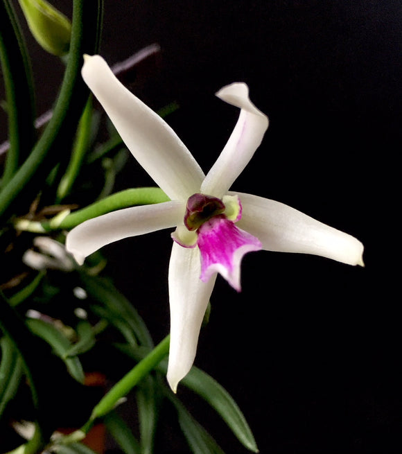 Flower photo of Leptotes bicolor, a miniature orchid in the Cattleya alliance with white and magenta blooms.