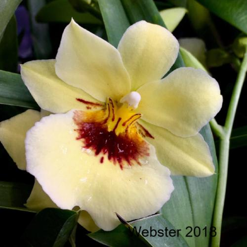 Close up of a Miltoniopsis Hawaiian Punch 'Kalapana' bloom, an orchid with yellow colored flowers.