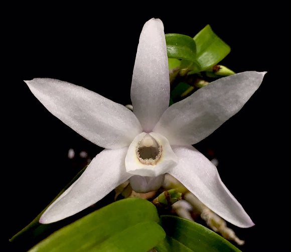 Flower photo of Dendrobium moniliforme, a miniature orchid with mostly white flowers.
