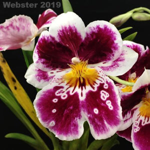 Miltoniopsis Edie Brown