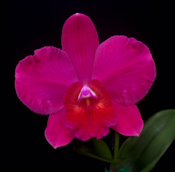 Flower photo of Ctt. Irene Teo Lai Kheng, a miniature cattleya orchid with hot pink, round blooms.