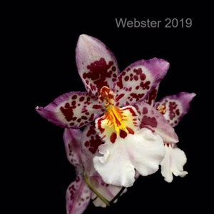Close up of Oncidium Tigersette 'Wild Court' flower, an orchid plant with purple spotted blooms.