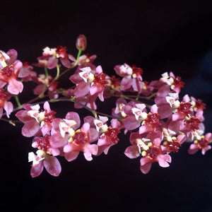 Close up of Oncidium Twinkle 'Red' flower, a miniature orchid plant with red and pink flowers.