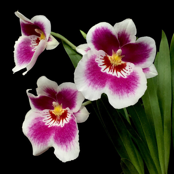 Flower photo of Miltoniopsis Hajime Ono '#5,' an Oncidium alliance orchid with pink and white flowers.