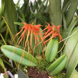 Photo of Bulbophyllum pecten-veneris (Syn. Cirrhopetalum tingabarinum), a miniature orchid species with bright red-orange blooms with long tassles held on umbels above the foliage.