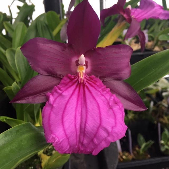 Flower photo of Miltonia spectabilis var. moreliana, an Oncidium alliance orchid with dark purple and pink blooms.
