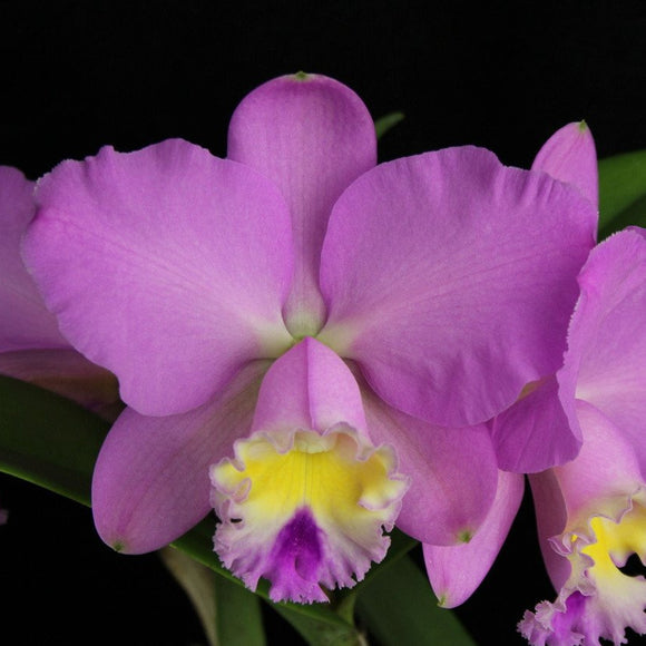Cattleya Maui Dazzler 'Mothers Day' flower. It is light pink with a soft yellow throat.