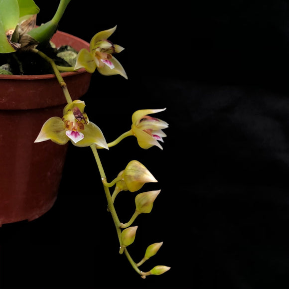 Flower of Theocopus maingayi,  an orchid species with small, yellow to green flowers that have whine and magenta lips.