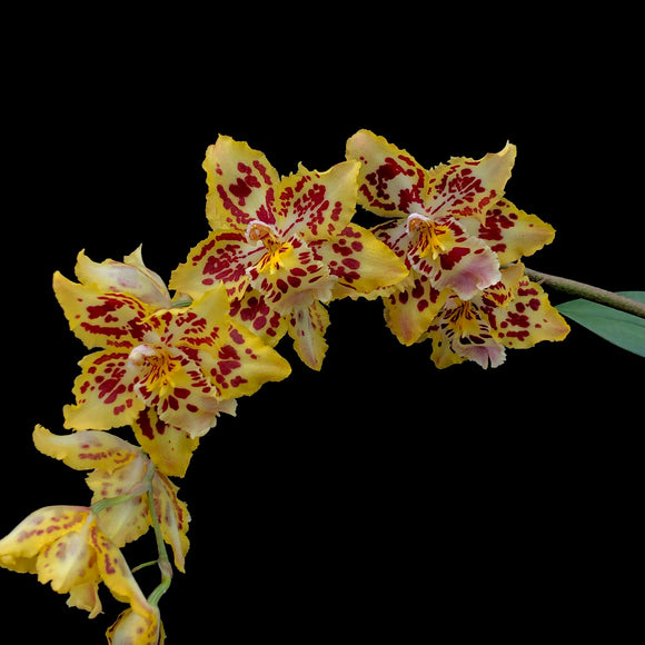 Flowers of Oncidium Brennan Scott Barfield 'HOF', and orchid with yellow blooms with heavy red patterning.