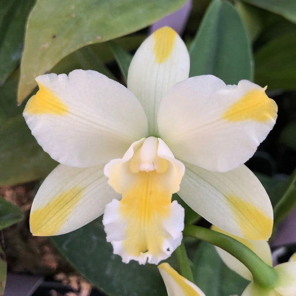 Flower photo of Rth. Solar Flare 'Paradise,' an orchid in the Cattleya alliancew ith yellow splash petals on a white background.