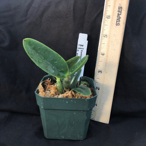 Plant photo of Cattleya Magairlin, a primary hybrid between C. aclandiae and C. nobilior.