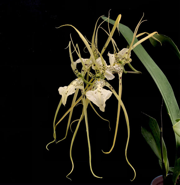 Brassia Up the Water-Spout 'Long Legs'