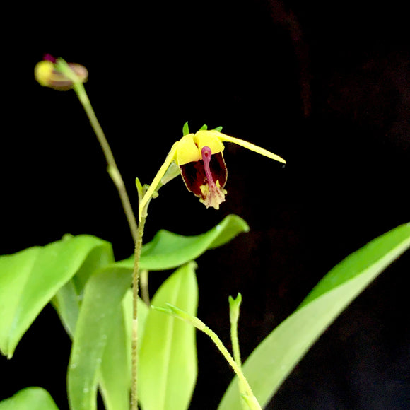 Flower photo of Scaphosepalum breve, an orchid closely related to Masdevallia.