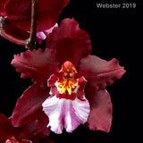 Photograph of the flower of Oncidium Lisa Davos 'Burgundy.' This orchid has deep red, two to three inch flowers with white and pink lips.