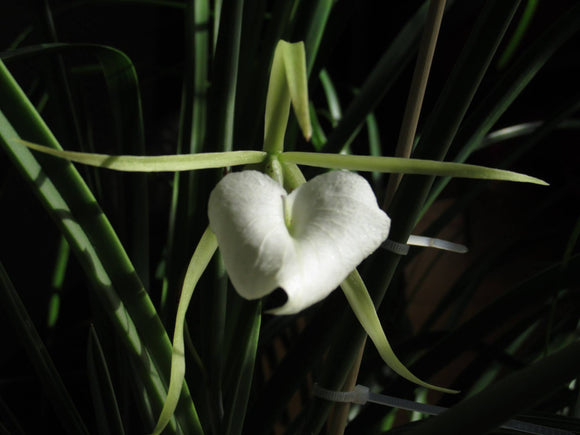 Flower photo of Brassavola nodosa, a Cattleya alliance orchid with white flowers that are night fragrant.