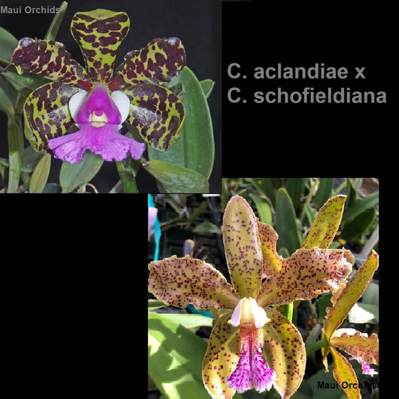 Cattleya Fabulous Cheetah