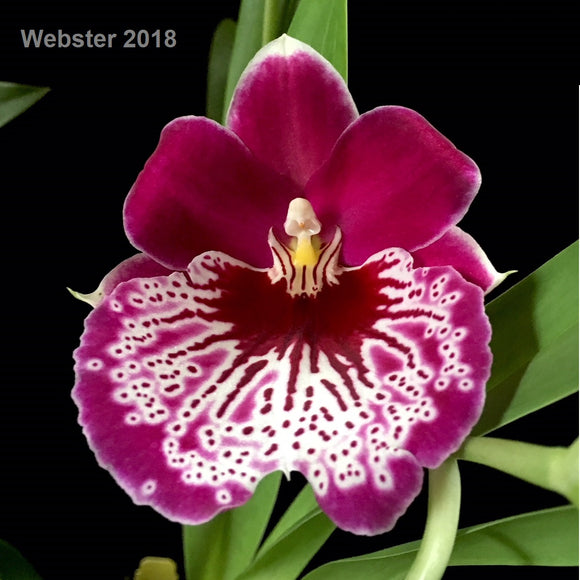 Close up of the bloom of Miltoniopsis Morris Chestnut 'H171.' The flowers of this pansy orchid are maroon in color and have an intriquet waterfall pattern on the lip.