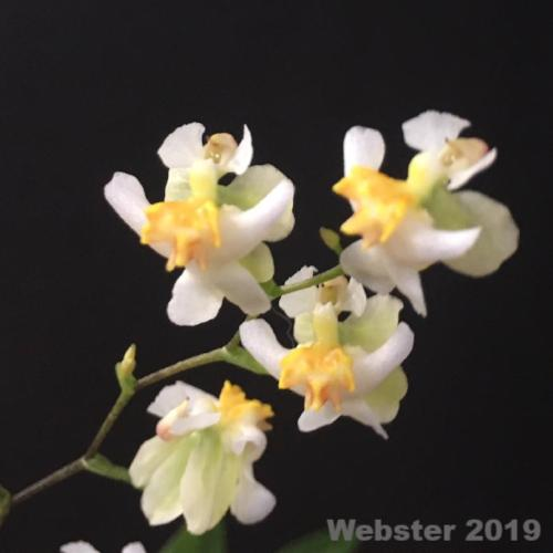 Close up of Oncidium Twinkle flower, a miniature orchid plant with white and yellow flowers.