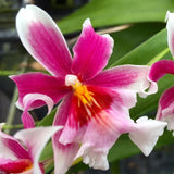 Flower of Oip. Maui Charm 'Sakura,' a miltoniopsis hybrid orchid with pink and white blooms.