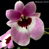 Flower photo of Miltoniopsis Boulivout 'THX 1138,' a pansy orchid that has pink flowers with dark red throats outlined in white.