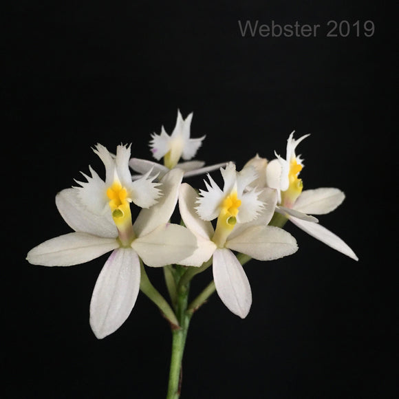 Photograph of the white flowers of Epidendrum Wedding Valley 'Yubanai' orchid
