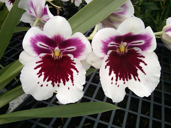 Flowers of Miltoniopsis White Truffle 'Bright Eyes,' and Oncidium orchid with flowers and a striking burgundy and maroon mask.
