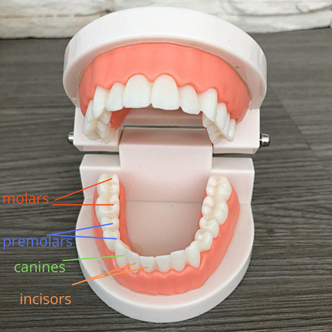 teeth model and names