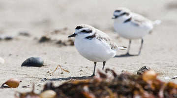 HPC SPONSORS THE VENTURA AUDUBON SOCIETY'S ORMOND BEACH NESTING PROJECT