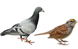 Pigeon and sparrow