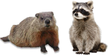 Raccoon and woodchuck products
