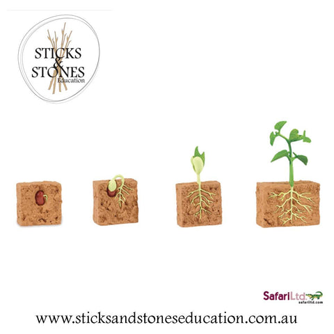 Life Cycle of a Green Bean Plant - Sticks & Stones Education