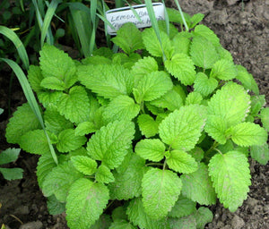 Lemon Balm Loose Herb