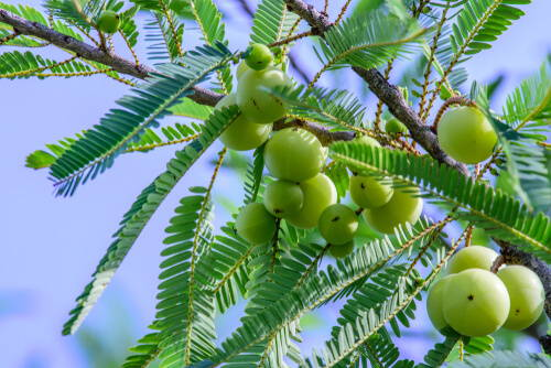 Your Essential Guide To Amla Berry Extract